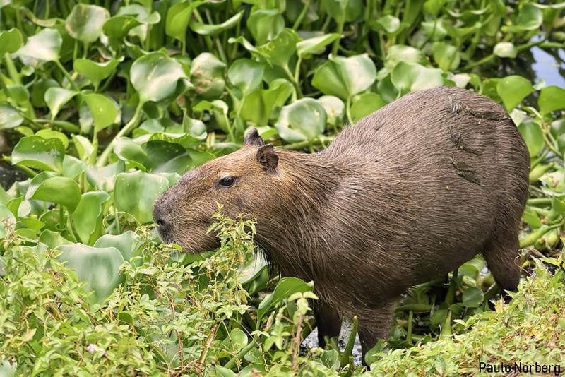 Hydrochoerus hydrochaeris<br /> Capivara<br /> Capibara<br /> Carpincho - Chigüiro