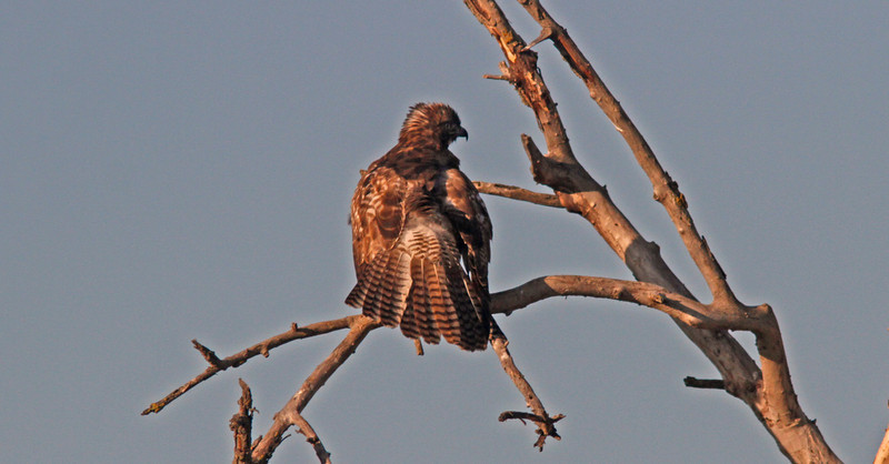 Juvenile Red Tail showing top tail feathers
