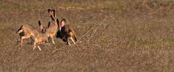 Frisky Rabbits, Colusa