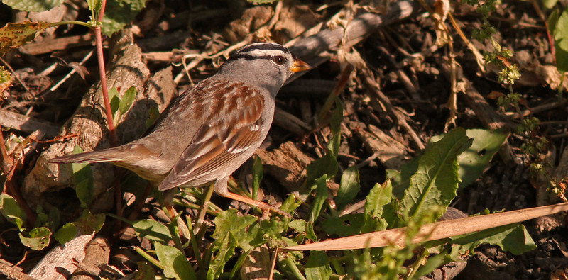 White-Crowned Sparrow, Colusa