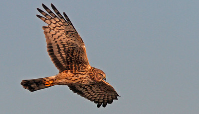 Female Northern Harrier, Colusa