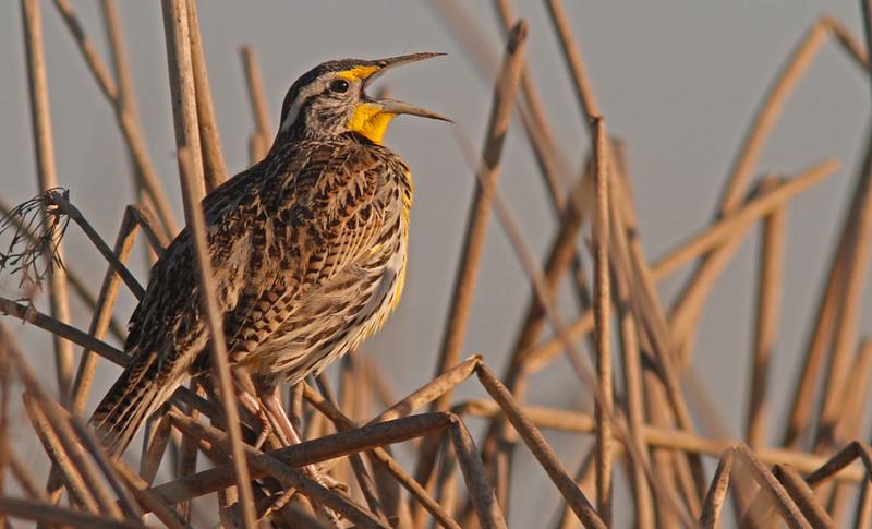 Western Meadowlark singing, Sacramento WLR