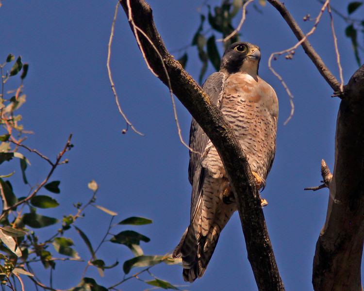 Peregrine Falcon, Sacramento WLR