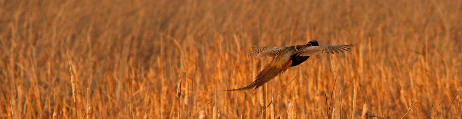 Pheasant in Flight, Colusa WLR