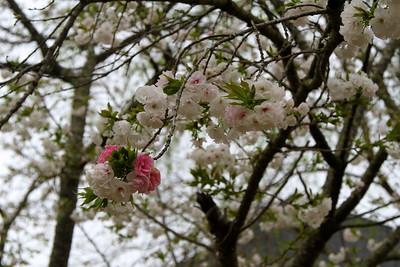 Cherry blossom branch2012-03-23