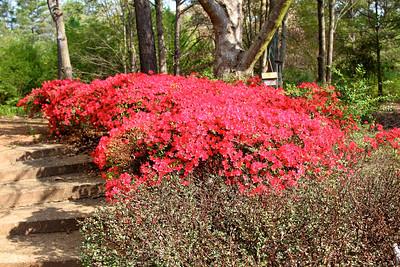 Red azaleas by pond2012-03-20