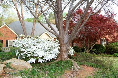 White azaleas2012-03-21