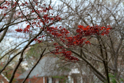 First color on the Japanese maple2012-03-16