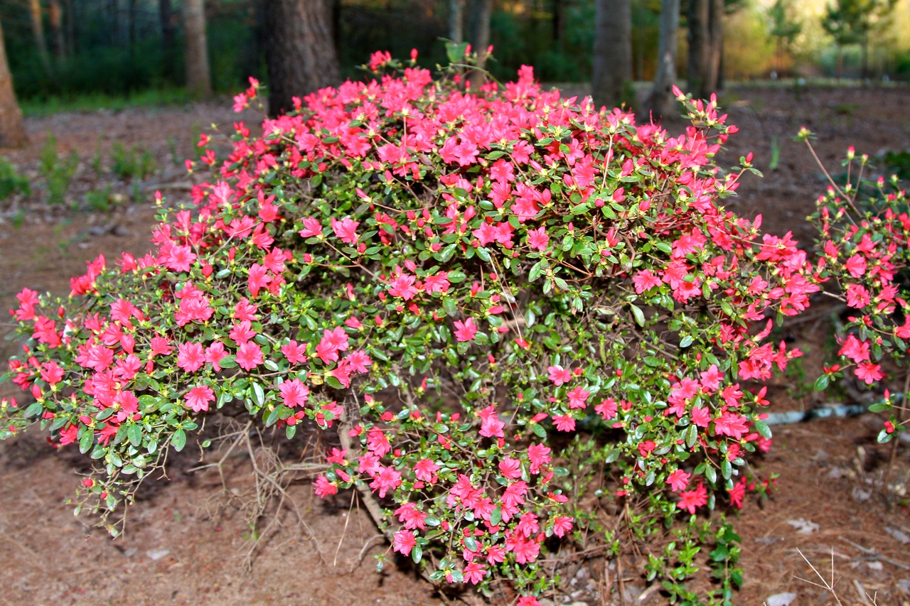 The red azaleas are coming into bloom - early.