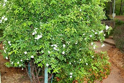 White tea-roses just starting2012-03-23