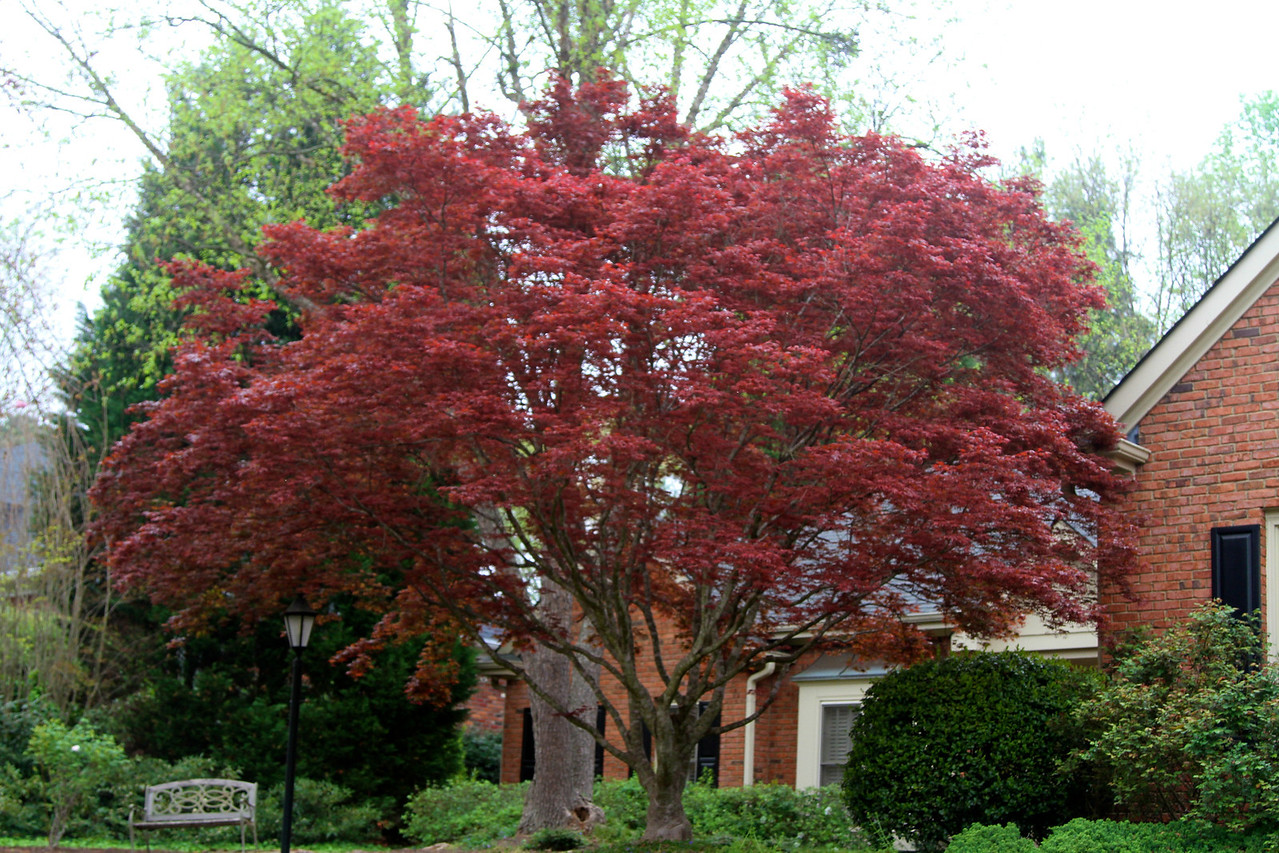 Japanese maple in full foliage2012-03-23