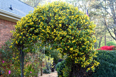 3/19 - I love Shamrock Shakes, but this is my favorite Golden Arch. This jasmine blooms for only a few weeks each year, but it sure is lovely while it lasts.