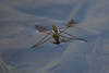 Water Strider<br /> <br /> SONY DSC