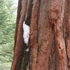 A little bit of snow in the bark of a giant sequoia.