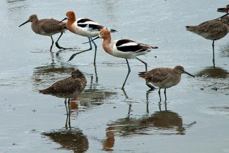 Shorebirds5881