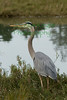 BlueHeron(8x12)9939 copy