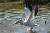 WtPelicanfly0588(8x12) copy