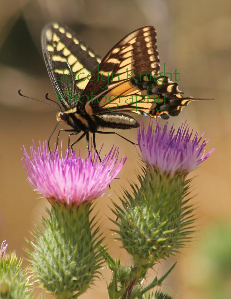 Swallowtail0138(8 5x11) copy