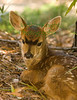 SpottedFawn4949 (8 5x11) copy