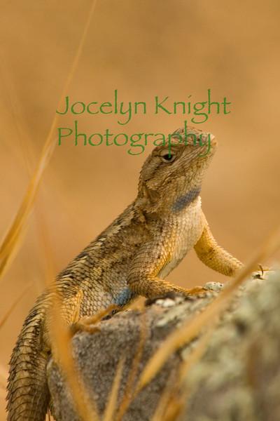 Lizard1253