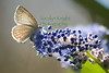 """Afternoon sunlight shines through the wings of one of the first butterflies of Spring, the  Spring Azure  (Celastrina landon echo) in  Ceanothus blooms at the Marin Art and Garden Center's """"Butterfly Zone"""" in Ross.This female is actually laying eggs."""