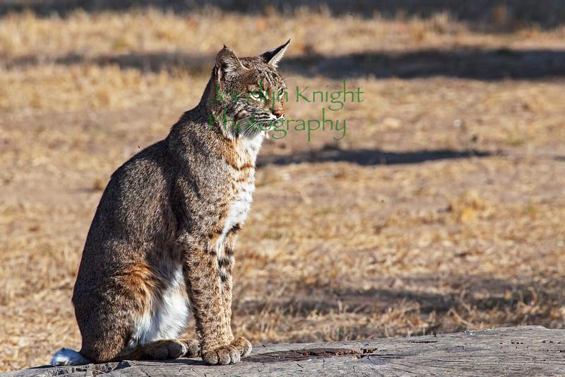 Bobcat8973
