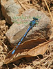 DamselFly8956 (8 5x11) copy
