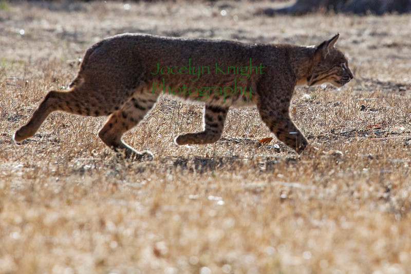 Bobcat8965