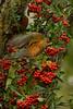RobinBerries9020