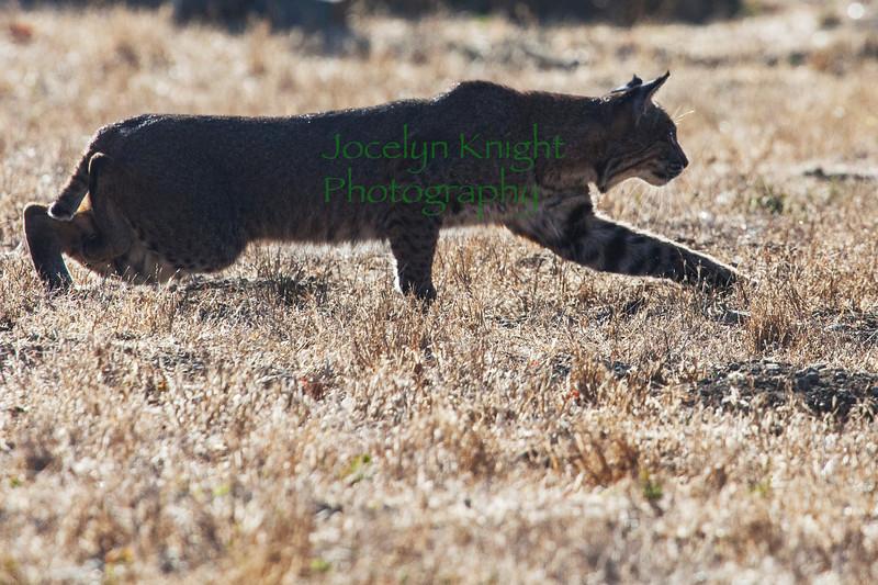 Bobcat8967