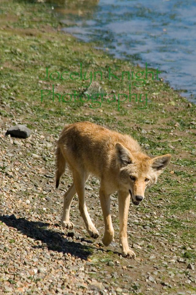 Coyote6643