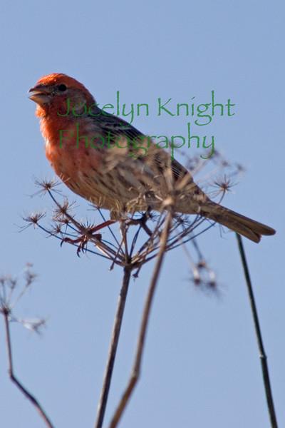 Finch(8x12)9816 copy
