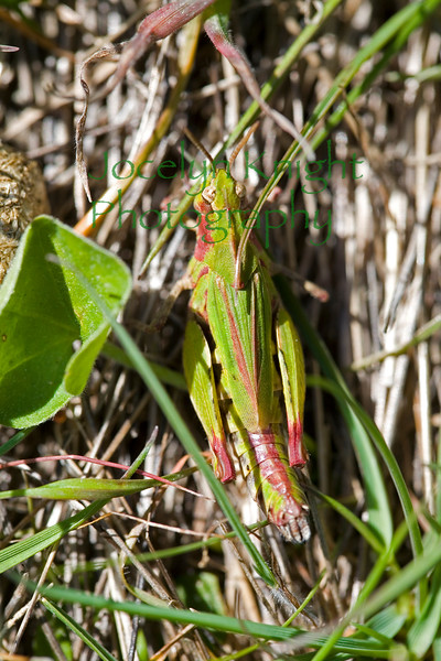 Grasshopper1048
