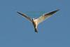 Kite5488