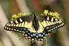 Swallowtail5230 (8x12) copy