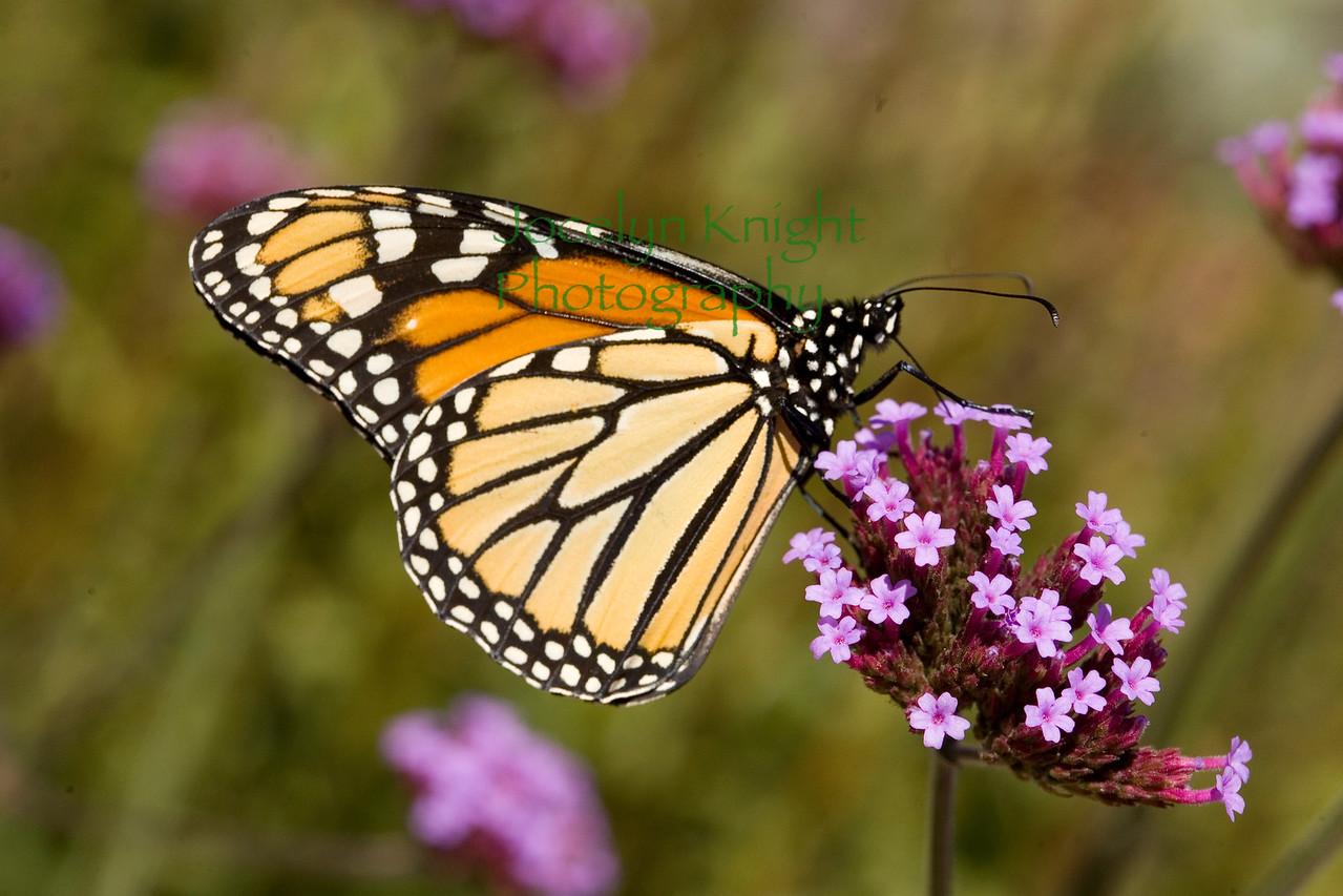 Monarch7827