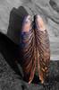 Angel Wings (Mussel Shell)