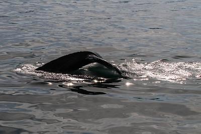 Humpbacked Whale - Juneau