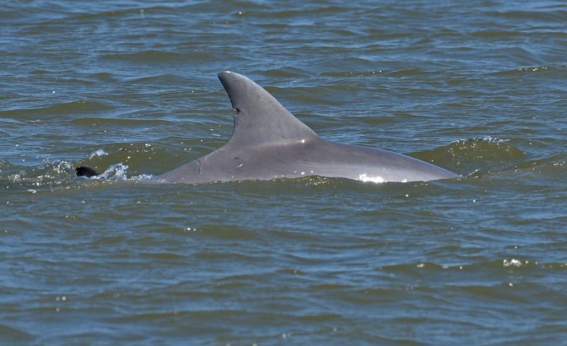 Dolphin Tour - Jekyll Island Boat Tours Baby Dolphin 04-11-18