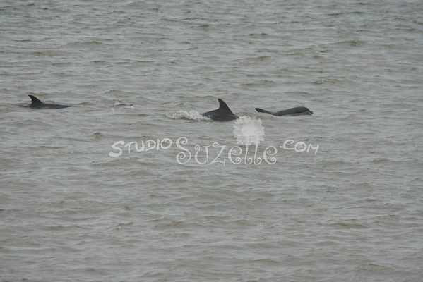 Dolphins in Galveston Bay