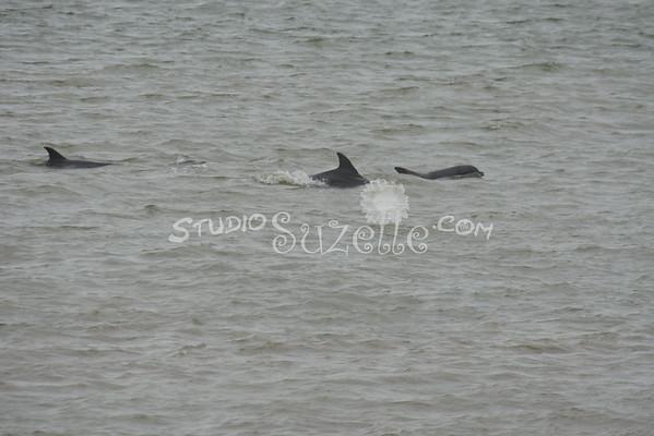 Dolphins in Galveston Bay