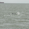 (126) Galveston Island Ferry Ride - Dolphins