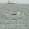 (129) Galveston Island Ferry Ride - Dolphins