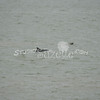 (165) Galveston Island Ferry Ride - Dolphins