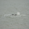(167) Galveston Island Ferry Ride - Dolphins