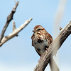 Song Sparrow, Marine Nature Study Area, Oceanside, NY