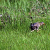 Clapper Rail, Doing what Clapper Rails do!, Marine Nature Study Area, Oceanside, NY
