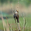 Seaside Sparrow, Marine Nature Study Area, Oceanside, NY