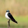 Tree Swallow, Marine Nature Study Area, Oceanside, NY