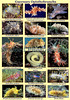 A poster up to A3 in size (40 x 28 cm) showing fifteen Guernsey nudibranchs and the spawn of the common sea slug, Berthella plumula.  All these species are carnivorous.  Depending on species they eat sponges, bryozoans, hydroids or anemones.  The image of Aeolidia papillosa shows it attacking and devouring a snakelocks anemone, Anemonia viridis. Aeolidiella alderi is also attacking an anemone. Janolus cristatus and Polycella faeroensis both seen in the marinas of St. Peter Port harbour feed on bryozoans.